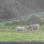 羊 VS 牛